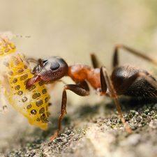 Řídí se hmyz kolektivní inteligencí?
