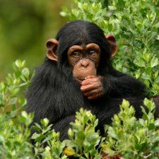 Léčivá moudrost opic