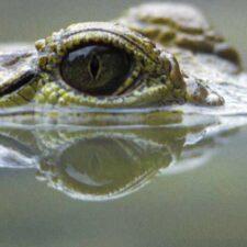 Krokodýli v Rusku? Možná, že ano!