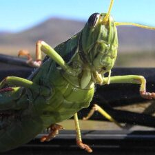 Záhadné zmizení kobylek. Rychlé a nečekané